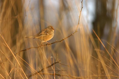 Tree Sparrow, Prophetstown State Park, Dec. 28, 2004.
