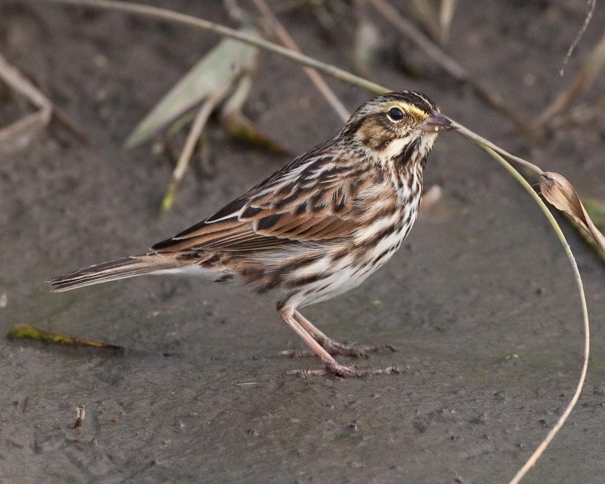 Savannah Sparrow, McCool Basin, Portage County, Indiana, October 2010.
