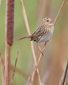 Le Conte's Sparrow, Universal Mine on State Line Road, one-half mile south of Blanford, Indiana.  October 23, 2012.