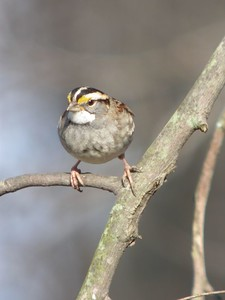 White Throated Sparrow, Backyard, Terre Haute, Indiana, Feb 24, 2004