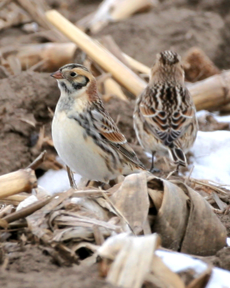 Lapland Longspur, SW White County, Indiana, January 31, 2007.  Corn-stubble field north side of CR 500 S between 600 and 700 W.  50+ longspurs and lesser number of horned larks present at 4pm.