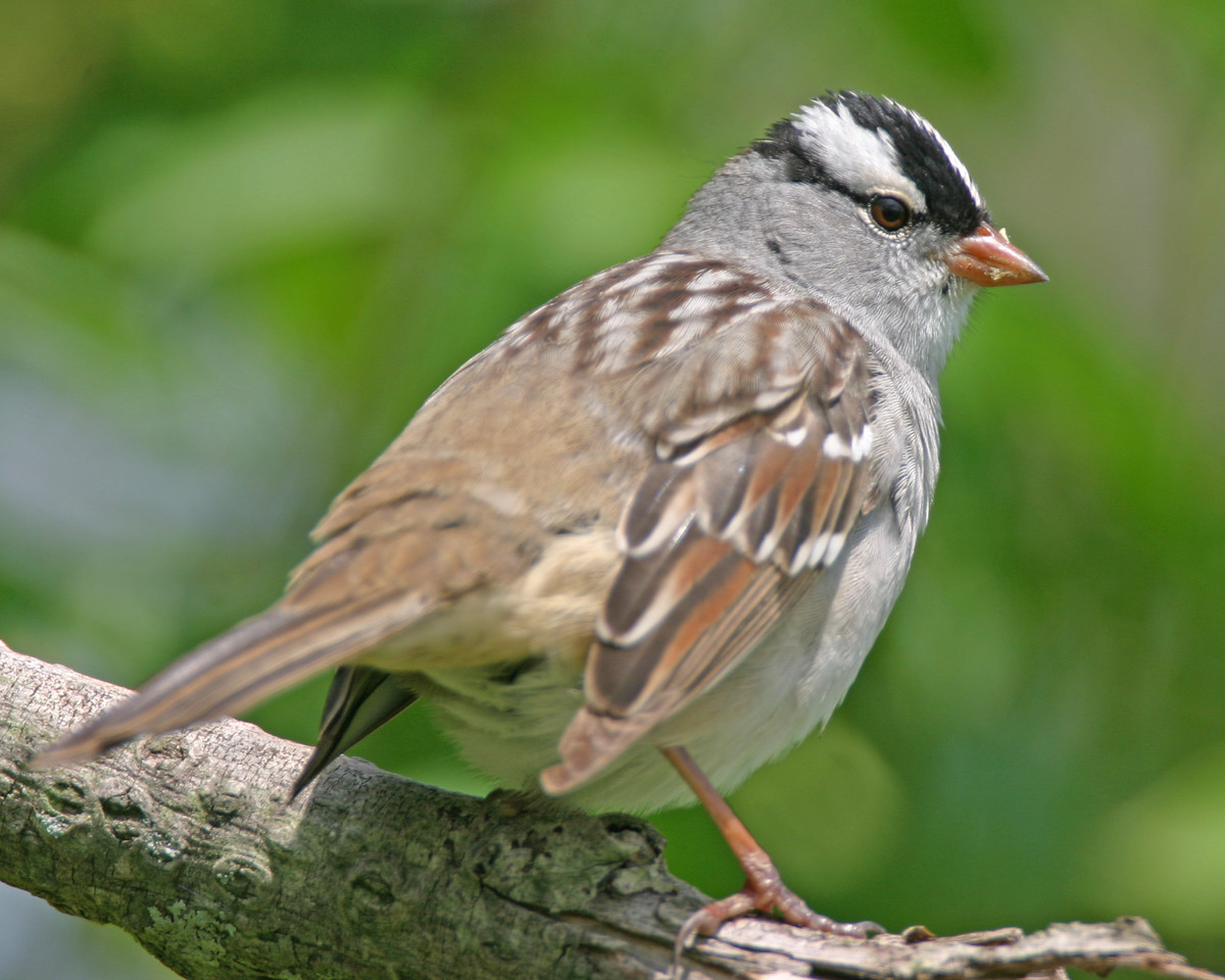 White-crowned Sparrow, Lake Waveland, Parke County, Indiana, May 4, 2006.