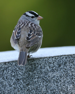 White-crowned Sparrow, Highland Lawn Cemetery, 2007.