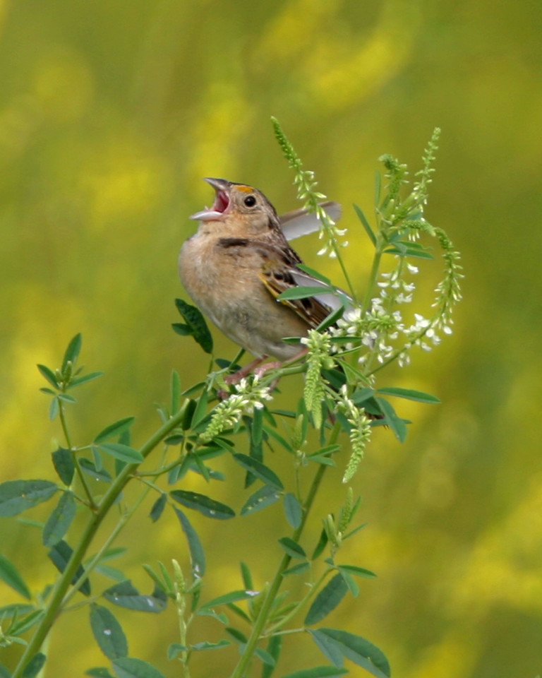 Grasshopper Sparrow, Chinook Mine South, Clay County, Indiana, June 19, 2006