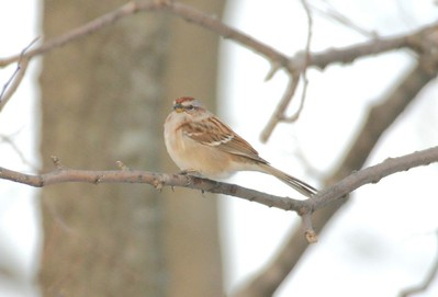 Tree Sparrow, Prophetstown State Park, Dec 28, 2004.