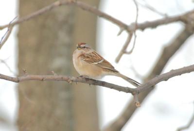 Tree Sparrow, Prophetstown State Park, Dec 28, 2004.