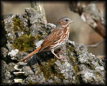 Fox Sparrow, Jasper-Pulaski FWA, April 9, 2008.