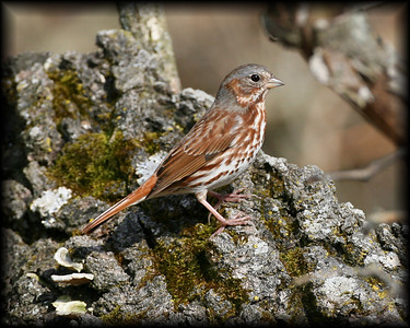 Fox Sparrow, Jasper-Pulaski FWA, April 9, 2008.