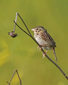 Henslow's Sparrow, Chinook Mine, Clay County, Indiana, June 19, 2006