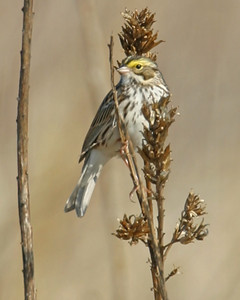 Vesper Sparrow, The Burn, Montgomery County, Indiana, April 15, 2006.