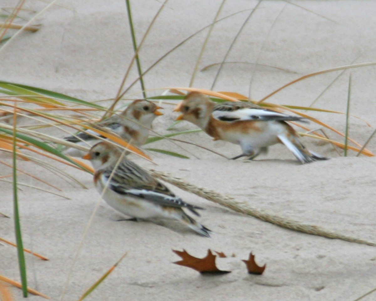 Snow Buntings, Beverly Shores/Indiana Dunes National Lakeshore, November 14, 2006.