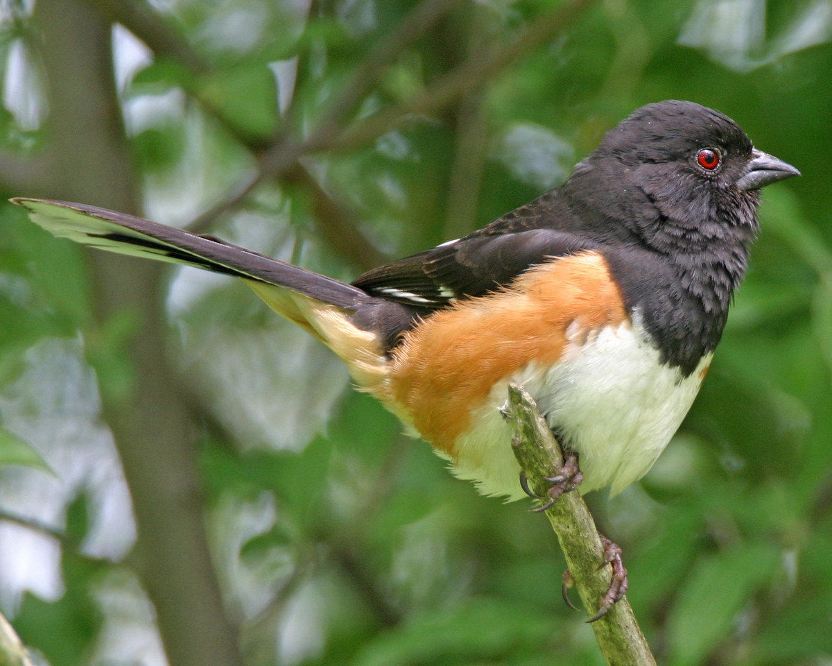 Eastern Towhee, Chinook Mine South, Clay County, Indiana, May 19, 2006