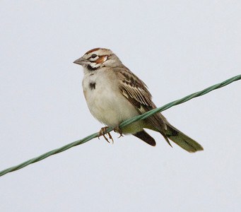 Lark Sparrow, Battlerow Place Road in the southwestern part of Vigo County.  Found by Peter Scott.  Vigo County Indiana Big May Day Count, May 9,, 2009.  My #265 photographed Indiana bird species.