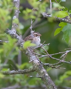 Clay-colored Sparrow, Vigo County, Terre Haute, Indiana, May 8, 2010.