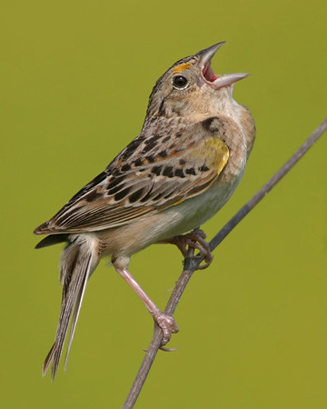 New World Sparrows - All twenty-three species expected in Indiana have been photographed.
