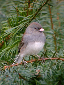 Dark Eye Junco, Feb 26, 2005. Backyard.