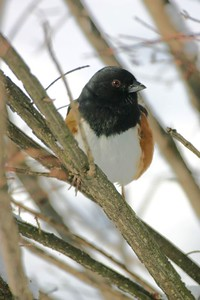 Male Eastern Towhee, Terre Haute, Dec 26, 2004.