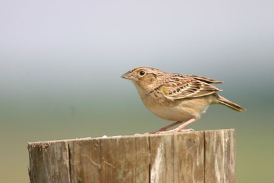 Grasshopper sparrow, May 22, Chinook Mine.