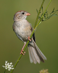 Field Sparrow, Prophetstown State Park, Tippecanoe County, Indiana, July 31, 2007.