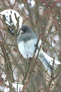 Dark Eye Junco, Terre Haute, Dec 24, 2004.