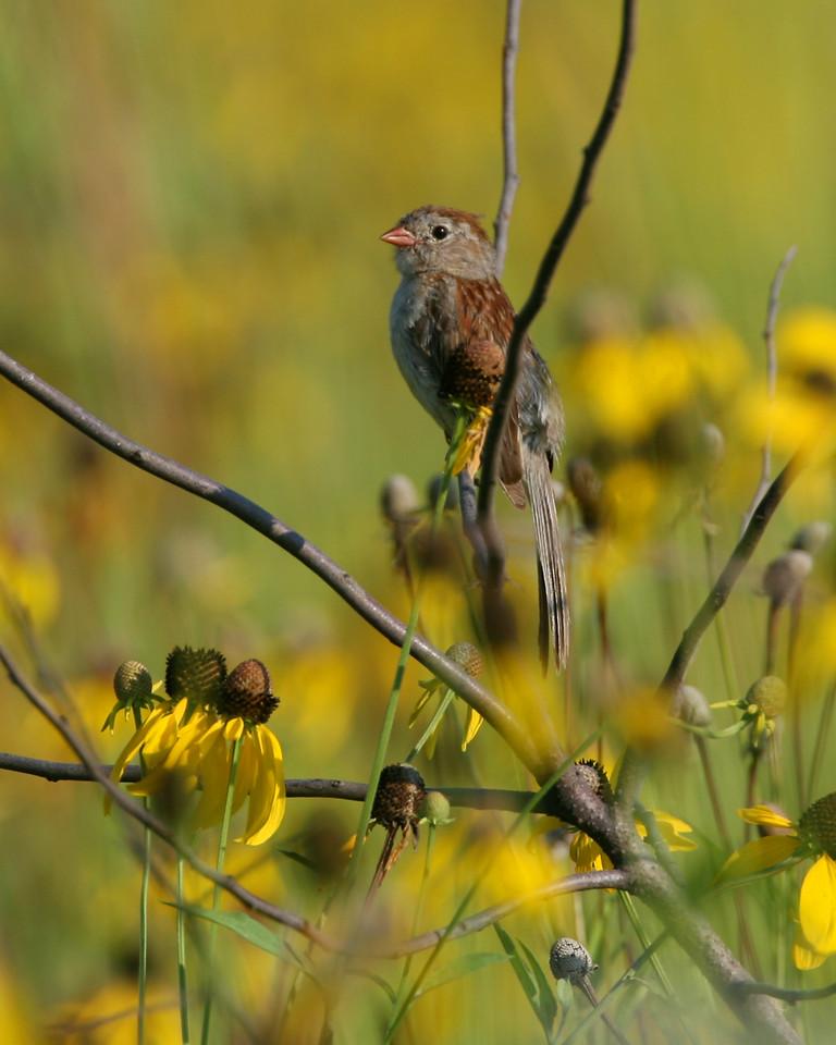 Field Sparrow, Prophetstown State Park, Tippecanoe County, Indiana, July 24, 2006.