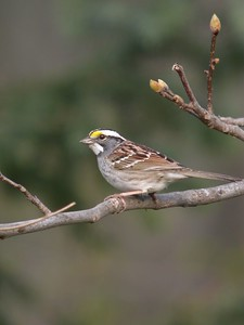 White Throated Sparrow, Backyard, Terre Haute, Indiana April 18, 2004