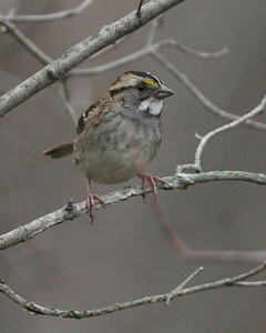 White-throated Sparrow, Shades State Park, Nov 19, 2007.