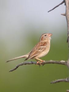 Field Sparrow, Huntington Reservoir, 051004