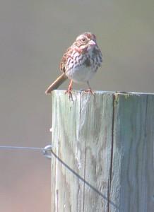 Song Sparrow, Chinook Mine, Vigo County, Indiana, April 2005.