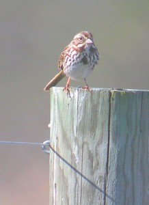 Song Sparrow, Chinook Mine, Vigo County, Indiana, April 2005.