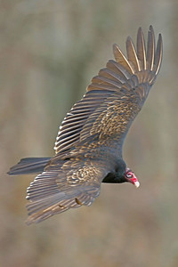 Turkey Vulture, Cecil Harden Reservoir, Parke County, Indiana, March 12, 2006.