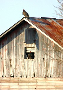 Turkey Vultures in Montgomery County barn.