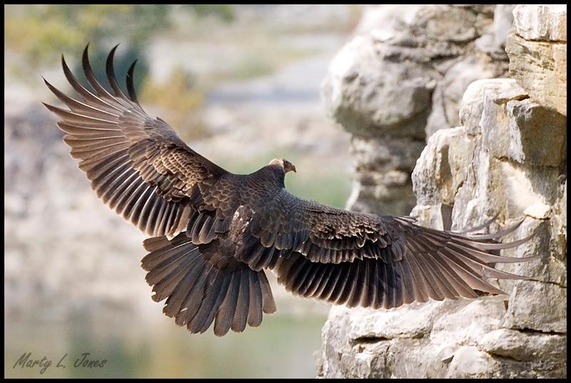 Juvenile Turkey Vulture wing display, DePauw Nature Park, Greencastle, Putnam County, Indiana, September 20, 2008.