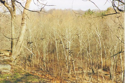 Turkey Vultures sunning themselves.  Look closely into the trees and you should see about ten vultures.  Photographed in late February 2003 at Cataract Falls State Park.