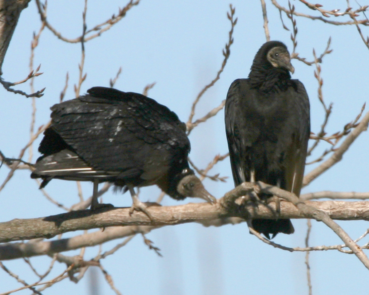 Black Vultures, found 37 black vultures on INDOT property located at northwest corner of hwy 37 and state road 50 in Bedford, Lawrence County, Indiana, February 9, 2007.