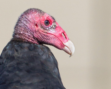 New World Vultures - Each of the two species expected in Indiana have been photographed