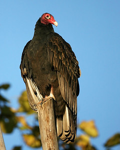 Turkey Vulture, Clay County, Indiana, October 28,, 2007.