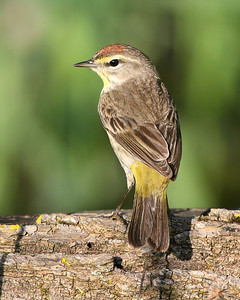 Palm Warbler, Photographed along the historic Tow Path Canal, Parke County, Indiana, May 12, 2008.