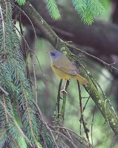 Mourning Warbler, Indiana State University, Terre Haute, Indiana, May 12, 2010.  #282 photographed Indiana bird species.
