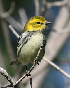 Black-throated Green Warbler, SW Vigo County-Wabash River Wetlands, September 15, 2007.