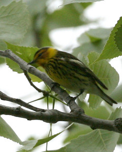 Cape May Warbler, N. Vigo County, Indiana, May 10, 2008.  #228 bird species I've photographed in Indiana.