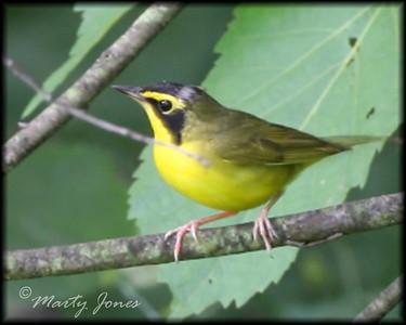 Kentucky Warbler, Forest Park, North Terre Haute, Indiana, June 26, 2008.