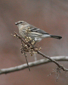 Yellow-rumped Warbler, Shades State Park, Nov 19, 2007.