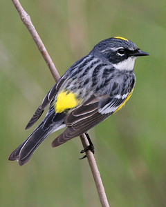 Yellow-rumped Warbler, Jasper-Pulaski County, Indiana FWA, April 30, 2008.