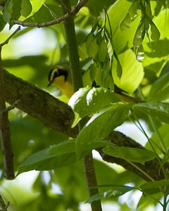 Kentucky Warbler, Parke County, Indiana near Marshall Covered Bridge, May 24, 2008.  The 233rd bird species I've photographed in Indiana.