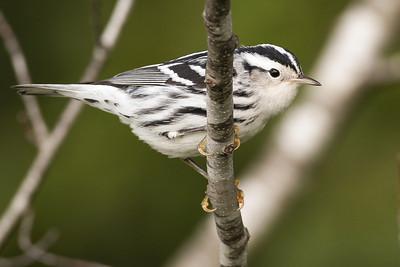 Black-and-white Warbler, Wabashiki FWA, Vigo County, Indiana, September 9, 2012.