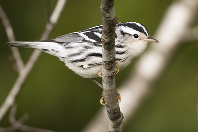 Black-and-white Warbler, Wabashiki FWA, Vigo County, Indiana, September 9, 2012.