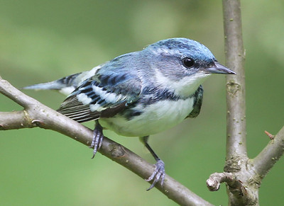 Cerulean Warbler, Orange County, Indiana, Hoosier National Forest, May 7, 2012.