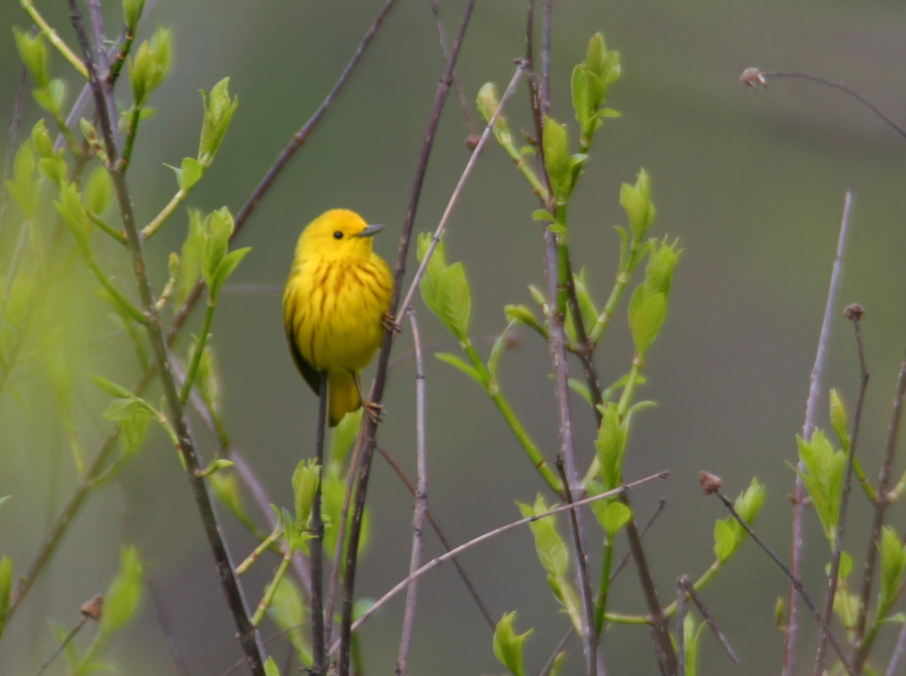 Yellow Warbler, Indiana Dunes State Park, May 23, 2005