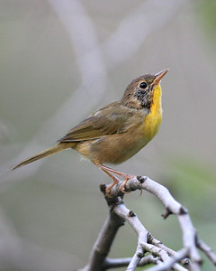 First year Common Yellowthroat, Willow Slough, Newton County, Indiana, September 6, 2007.